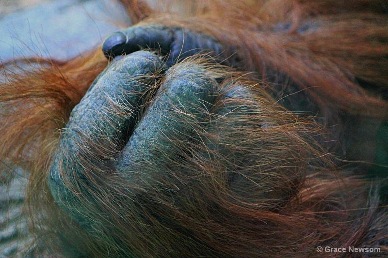 Orangutan Hand - ID: 14467259 © Grace Newsom