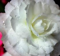 Waterdrops on White Flower