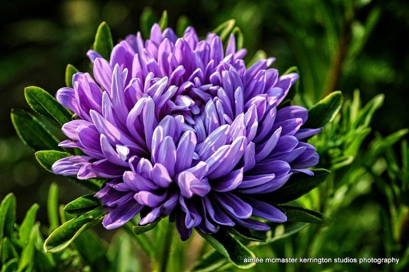 mum violette