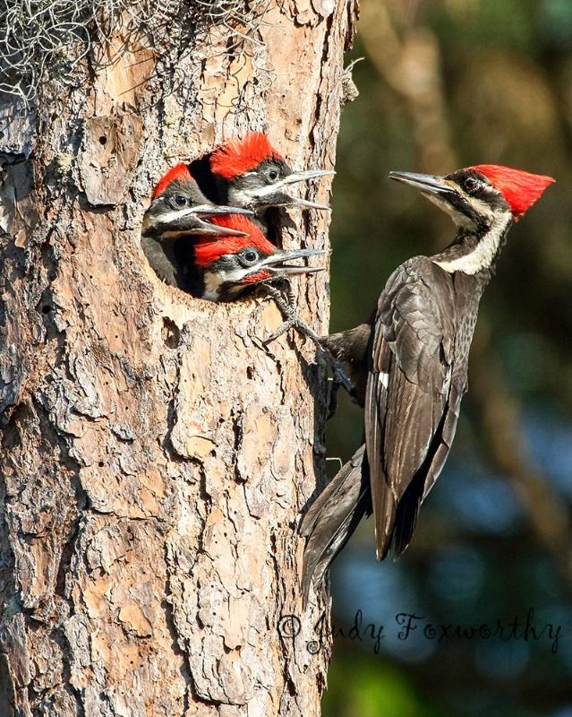 Pileated Woodpecker Feeding Time