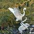 2Egret Mating Dance - ID: 14475259 © Zelia F. Frick