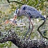 2Blue Heron's BIG Catch - ID: 14475506 © Zelia F. Frick