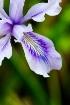 Corner Iris