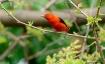 Scarlet Tanager I...