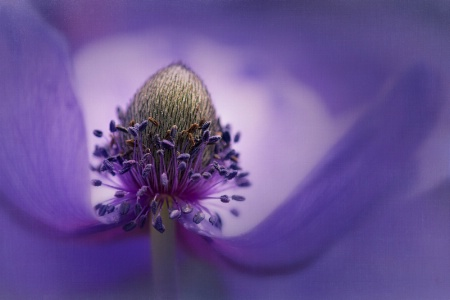 Blue Anemone Poppy