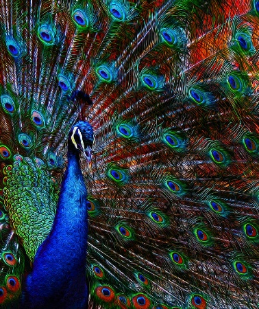 Peacock Color