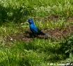Bluebird Of Happi...