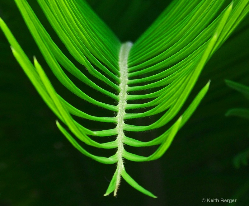 Sago Palm Frond - #3 - ID: 14483808 © J. Keith Berger