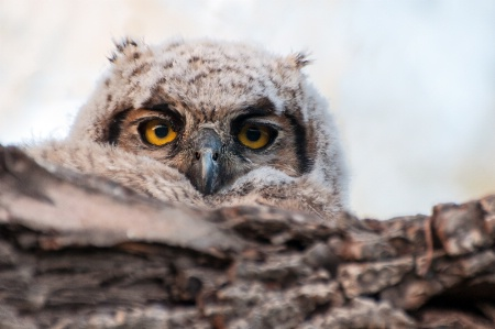 Owlet in the morning
