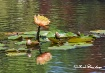 water lilies2