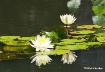 waterlillies4