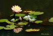 waterlilies3