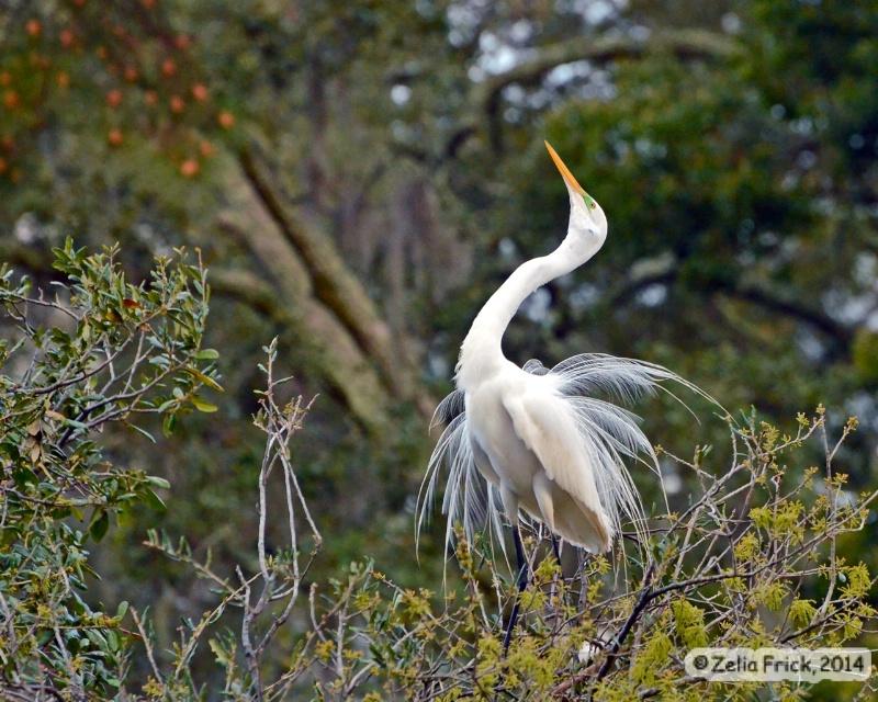 Great Egret Show-off - ID: 14484695 © Zelia F. Frick