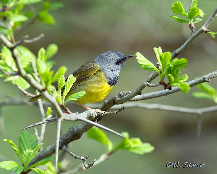 Mourning Warbler in Thorn Apple Tree