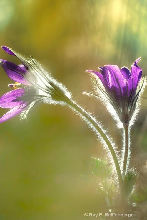 h0c0964 Flower14 - ID: 14485538 © Raymond E. Reiffenberger