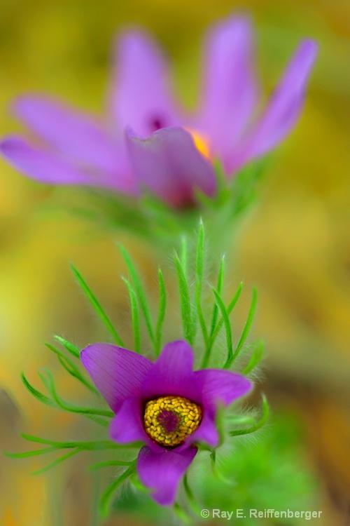 h0c1901 Flower 14 - ID: 14485539 © Raymond E. Reiffenberger