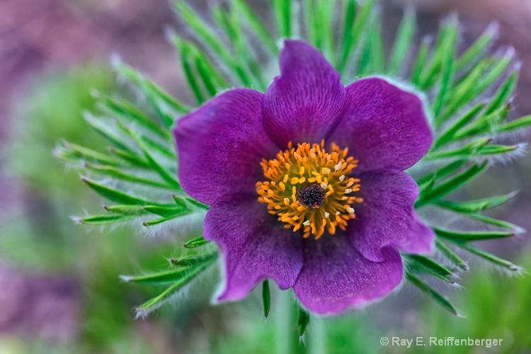 h0c2018 Flower14 - ID: 14485540 © Raymond E. Reiffenberger