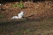 Albino Squirrel (...