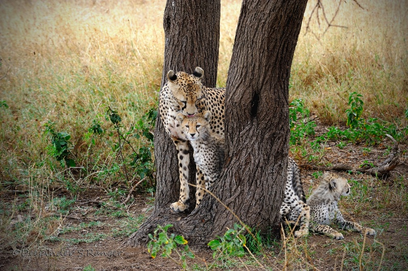 Motherly love -Cheetah family in Serengeti