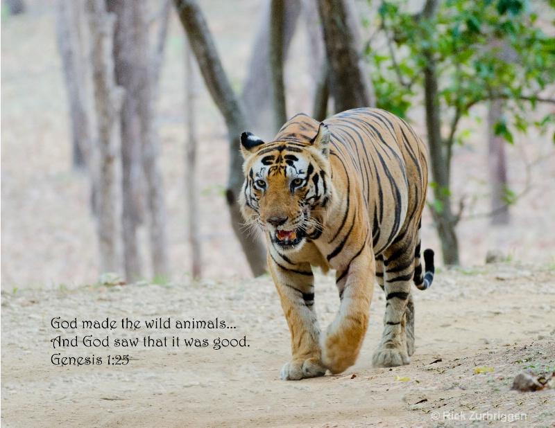 Bengal Tiger India - ID: 14489683 © Rick Zurbriggen