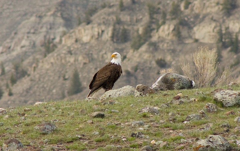 Bald Eagle at Yellowstone