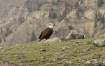 Bald Eagle at Yel...