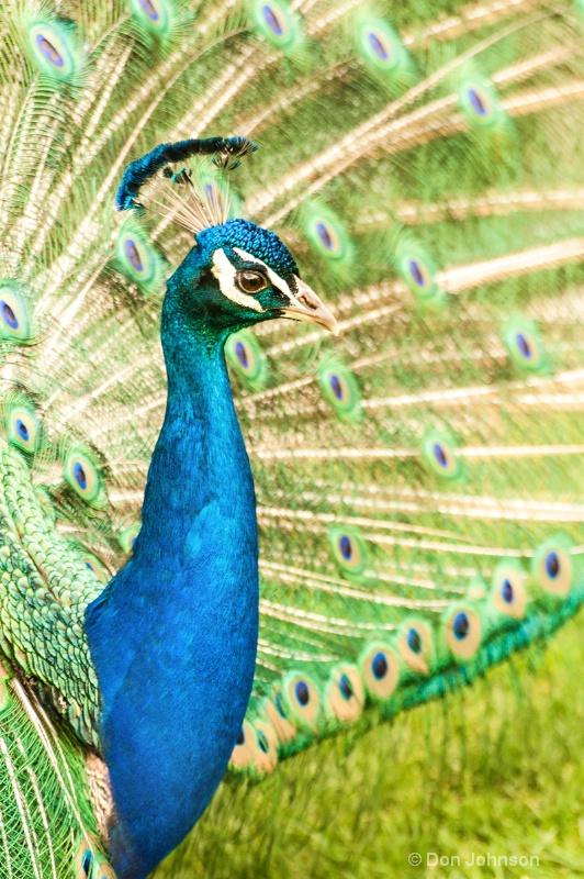 NJ Peacock Profile - ID: 14493280 © Don Johnson
