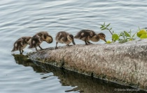 Ducklings coming out of the water; Florida
