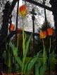 Goth tulips
