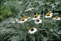 White Coneflower Patch