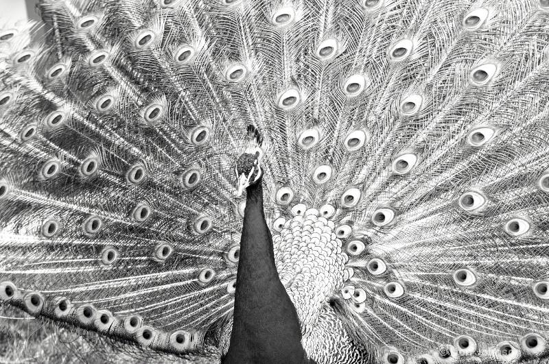 B&W Displaying Peacock - ID: 14499166 © Don Johnson