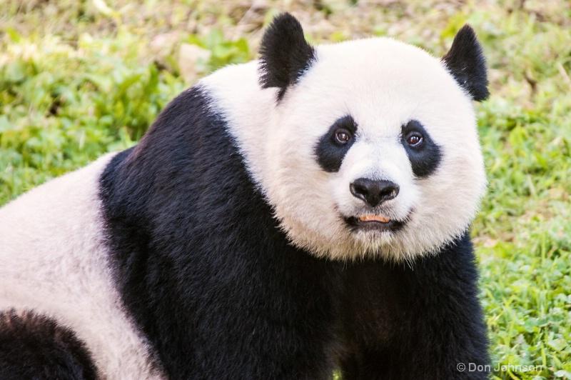 Momma Panda - ID: 14500462 © Don Johnson