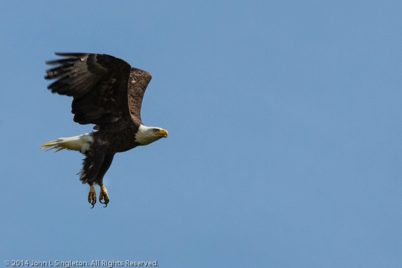 Eagle in Flight  - ID: 14503642 © John Singleton