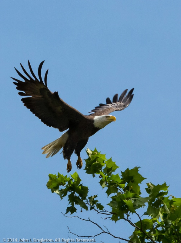 Bald Eagle in Flight #2 - ID: 14503647 © John Singleton