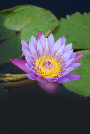 Lavender and Purple Waterlily