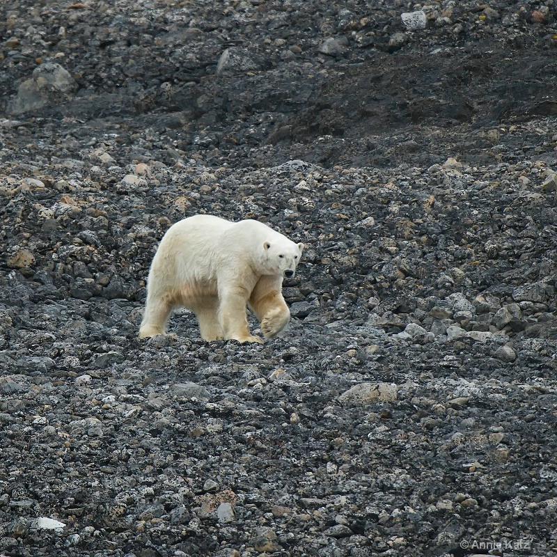 well fed polar bear - ID: 14507634 © Annie Katz