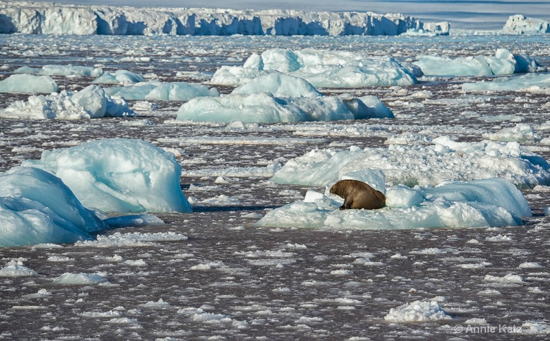 world of a walrus - ID: 14507638 © Annie Katz