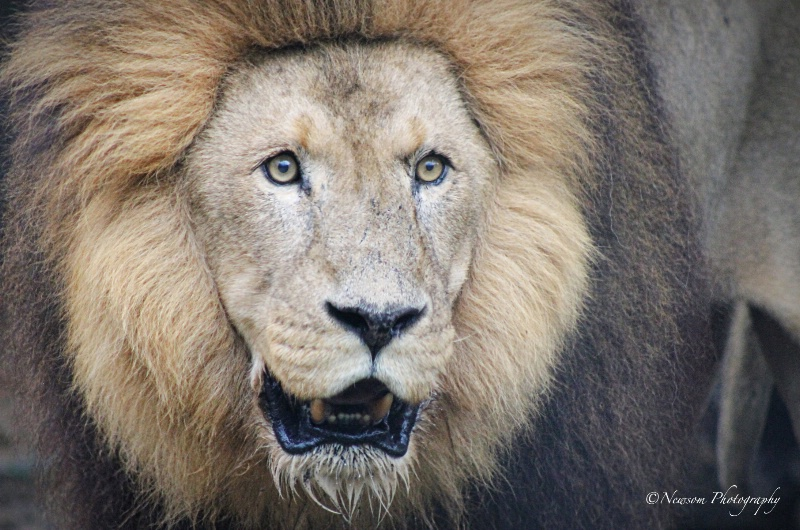 Mr. Lion - ID: 14508796 © Grace Newsom