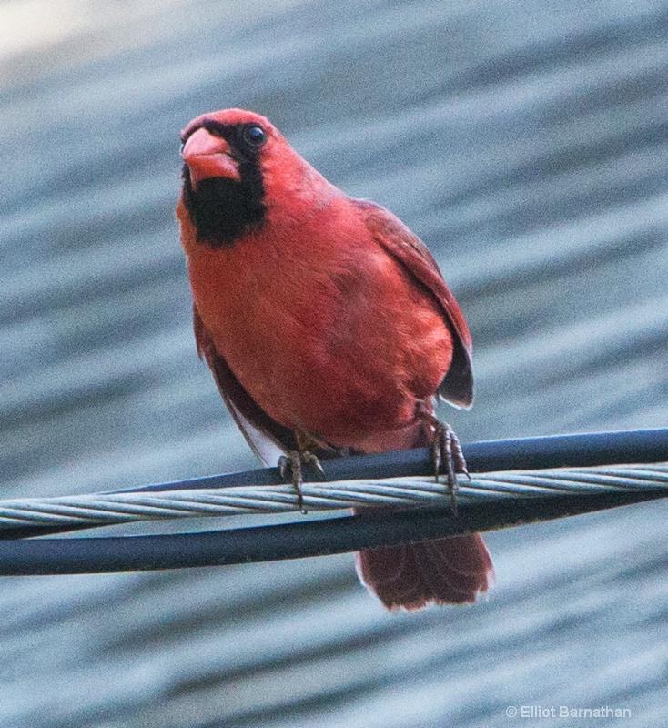 Northern Cardinal male - ID: 14511019 © Elliot S. Barnathan