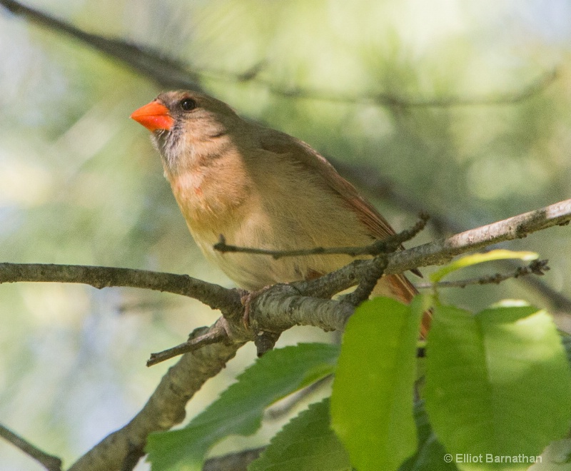 Northern Cardinal female - ID: 14511021 © Elliot S. Barnathan