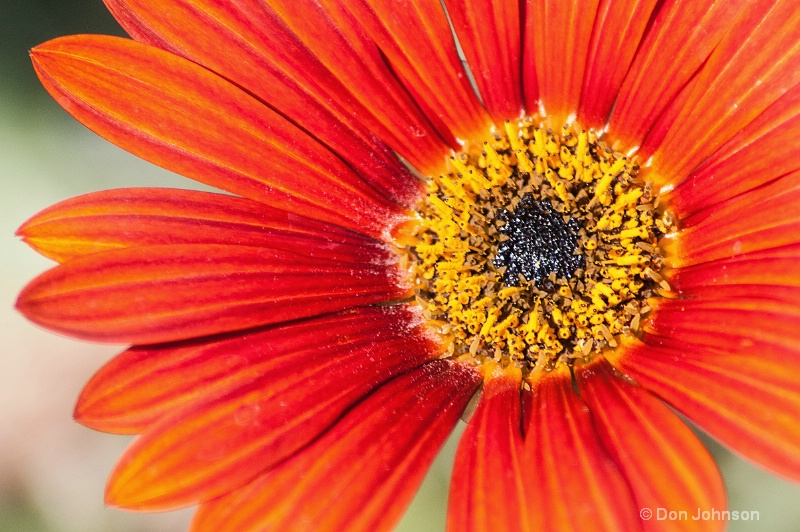 LA Red-Orange-Yellow Flower - ID: 14514063 © Don Johnson