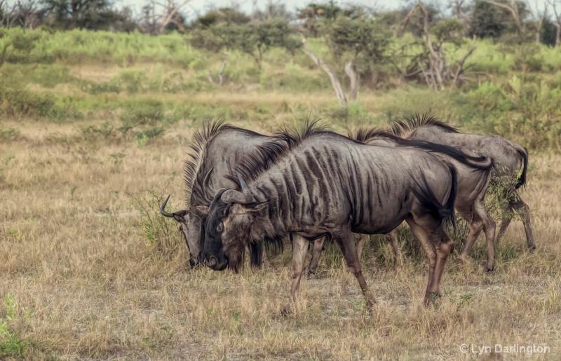 Wildebeests!