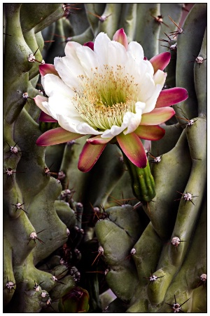 monstrous cactus and bloom