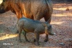 Baby Warthog