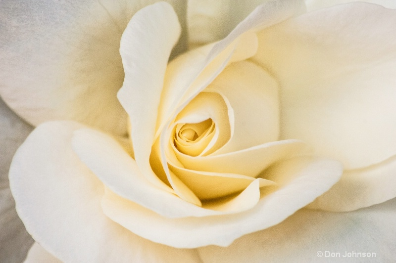 NYC White Rose - ID: 14525575 © Don Johnson
