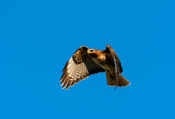 Red-Tail Hover