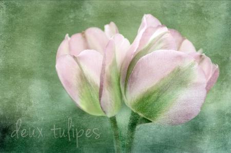~ deux tulipes ~