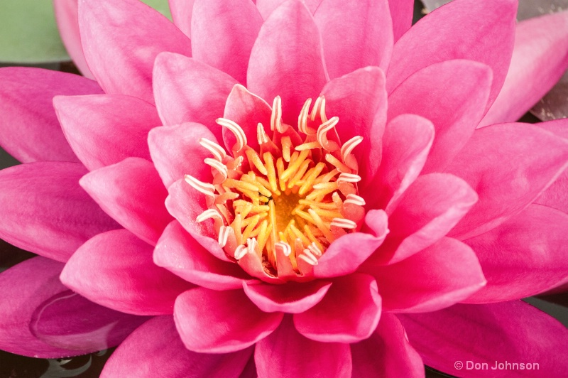 Lilipons Pink Water Lily 046 - ID: 14547271 © Don Johnson