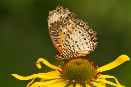 Butterfly Grace
