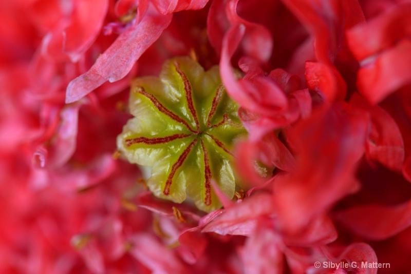 ruffled opium poppy - gekräuselter Schlafmohn - ID: 14550475 © Sibylle G. Mattern